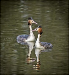 Great Crested Grebes (Charles Connor) Tags: greatcrestedgrebes crestedgrebes grebes waterbirds birdphotography naturephotography canon100400lens canon7dmk11 wildlife wildlifephotography backlit