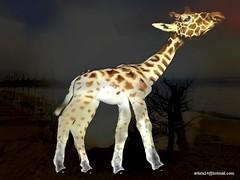 Girafe - Giraffe (2) (artiste24artiste241) Tags: girafe safari jungle sauvage zoo savane parc réserve mammifère