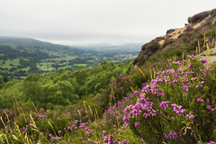 Heather Flowers (l4ts) Tags: landscape derbyshire peakdistrict darkpeak millstoneedge heather moorland hopevalley gritstone gritstoneedge grasses surpriseview hathersage