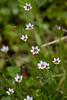 Flower, Sisyrinchium (nekonomania) Tags: white yellow multicolor reddishpurple kyotobotanicalgarden