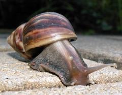 Achatina fulica (Mangiwau) Tags: giant african snail fulica achatina anawesomeshot