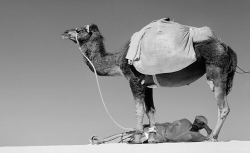 camel and man, Picture 5