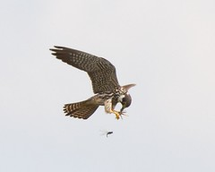 Hobby and Prey (Andrew H Wildlife Images) Tags: bird nature wildlife flight raptor coventry warwickshire avian brandonmarsh canon7d ajh2008