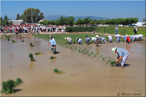 Plantada del arroz I (by Ramón Casadó)