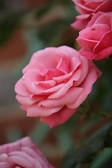 Blooming Pink - kent (Adam Swaine) Tags: uk pink flowers roses england macro english beautiful rose canon countryside petals village britain counties naturelovers ilroseto awesomeblossoms adamswaine mostbeautifulpicturesmbppictures wwwadamswainecouk