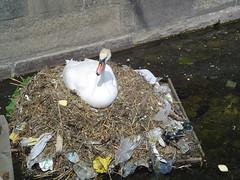 Zwaan maakt nest van vuil (w24.nl) Tags: beagle nest darwin w24 actie zwaan aarde vervuiling w24nl