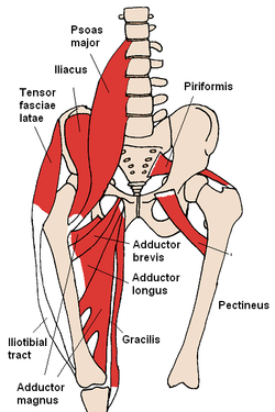 adductor muscle
