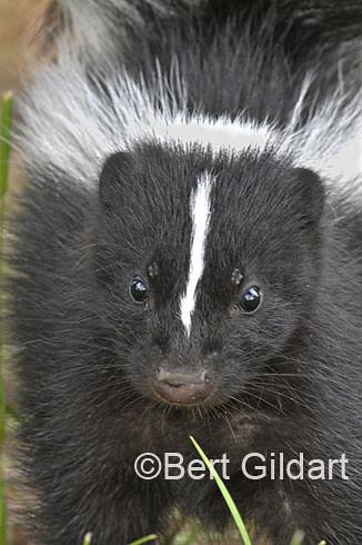 Skunk-6