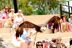 Golden Eagle Rancho Texas Park Peurto del Carmen Lanzarote (Eamonn McGee) Tags: park del golden texas eagle lanzarote carmen rancho peurto