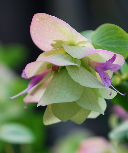 Ornamental Oregano 4