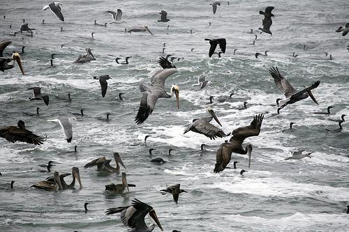 cormorants, pelicans, mikebaird