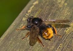 Bumblebee-mimic Robber Fly (aeschylus18917) Tags: macro nature japan insect fly nikon g micro 日本 robberfly txt nikkor f28 vr pxt diptera asilidae 105mm insecta 105mmf28 105mmf28gvrmicro brachycera d700 nikkor105mmf28gvrmicro bumblebeemimic asiloidea ダニエル macrolife asilomorpha danielruyle aeschylus18917 danruyle druyle ルール ダニエルルール laphrinae laphriayamatones オオイシアブ