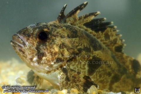 Soldierfish - Gymnapistes marmoratus