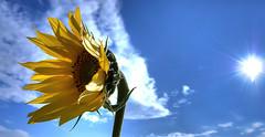 [フリー画像] 花・植物, キク科, 向日葵・ヒマワリ, 201010081300