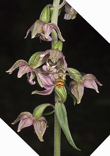 Mangeurs de pollen à orchidées 4753426303_193a7a0af0