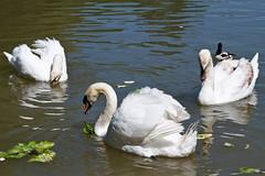 Breakfast (Karmen Smolnikar) Tags: food white nature water animal breakfast swan waterbird swans waterbirds