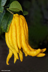 Citrus medica var. sarcodactylus - Fingered Citron of Buddha's Hand (Black Diamond Images) Tags: fruit citrus citron himalayas jjh buddhashand rutaceae buddhasfingers citrusmedica citrusmedicavarsarcodactylus yellowfruit blackdiamondimages interestingfruit fingeredcitronofbuddhashand