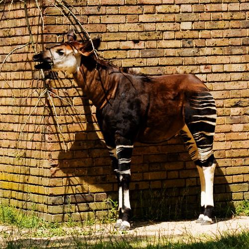 Okapi #3