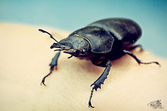 stacked bug (t0m_ka) Tags: summer macro sunshine photoshop bug studio fun flickr sommer bbq bugs 100mm stack stacking quick fkk grillen käfer sonnenschein stapel flickrklubkarlsruhe lightgiants compostitng ba4760826652