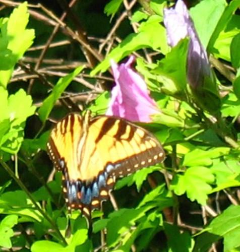 resize 2 nat swallowtail IMG_1077