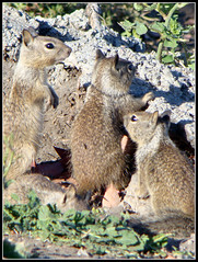 Do you see them!? (Zwitteriondds) Tags: family wild summer cute beach nature look animal animals rock out island see squirrel squirrels do natural you watching adorable kingdom siblings lookout boulder hide precious them behind seek hiding