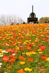 On top of the poppy hill (Hopeisland) Tags: flowers plant flower nature field japan garden spring hill poppy april colourful 2010        4   ethnologymuseum