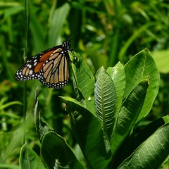 monarch butterfly on milkweed leaves