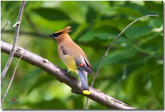 Cedar Waxwing (VLADIMIR NAUMOFF) Tags: canada nature birds quebec verdun canonef14xii canonef300mmf28lisusm ledessoeurs canoneos1dsmarkiii vladimirnaumoff