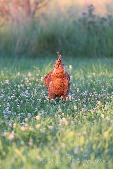 07-05-chickens3