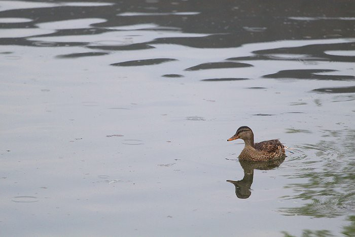 07-05-duckduck