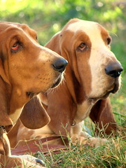 Looking for something (Alessandra Pak) Tags: two dog cachorro basset tricolor hounds bicolor