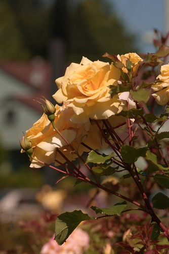 07-06-2010_yellow_roses