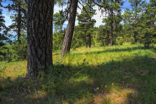 Pine and Fescue Savanna by Joe Rocchio