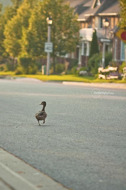 quack! day 187 (9)