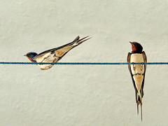 Un momento de respiro (II) (.Bambo.) Tags: animal ave hirundorustica pjaro golondrina tendedero hirundo hirundinidae
