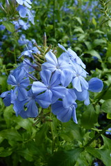 Plumbago (Toby Garden) Tags: blue plumbago