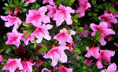 pink azaleas (joybidge) Tags: pink flowers canada flower azaleas azalea victoriabc pinkazaleas naturepatternscanada trishcanada ccjuly12010