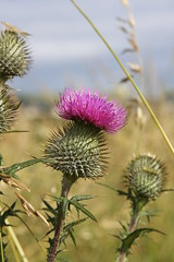 Scotland the Brave (Don McDougall) Tags: flower nature emblem spiky scotland flora purple thistle spike jag jaggy mcdougall donmcdougall
