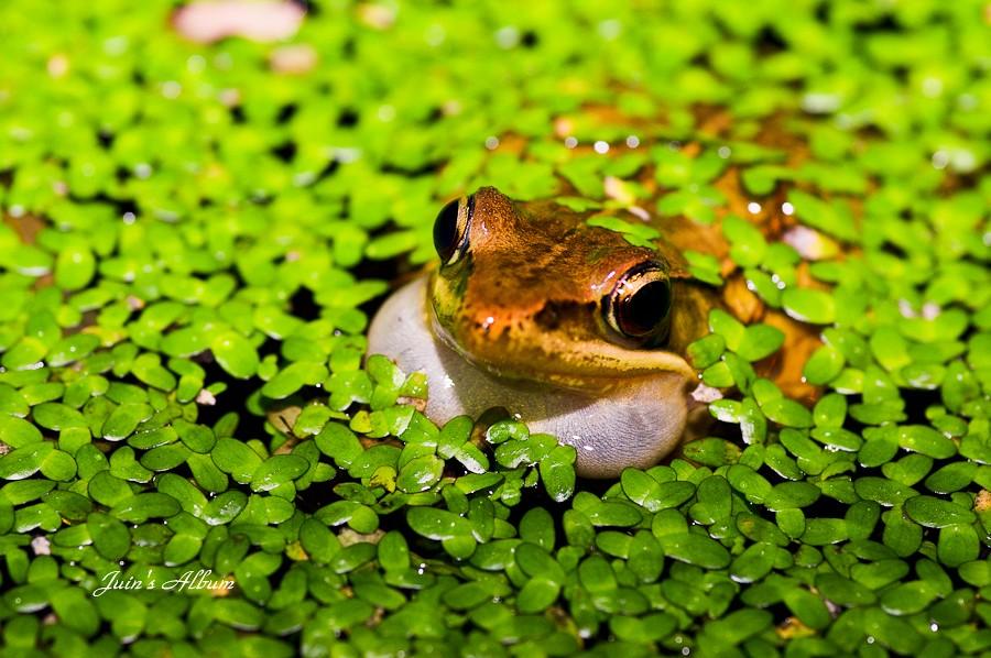 """蛙 喔 ! ...沒 有 幾 隻 蛙~~""""(四崁水夜拍)"""
