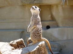 Simples (AshkeJ) Tags: animals zoo rodent meerkat captivity simples cotswoldwildlifepark