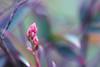 ...will I begin to understand... (jewelflyt) Tags: macro lyrics shoot purple bokeh free bamboo growth processed sarahbrightman sacredbamboo hpps perfectpurplesaturday