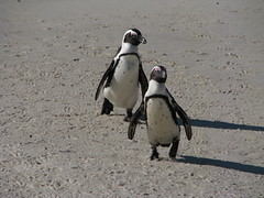 Boulders Beach, Western Cape, South Africa (Marc_P98) Tags: ocean africa sea beach penguin bay african south reserve atlantic boulders western cape jackass colony false