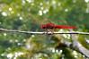 Crocobokeh (Greg 50) Tags: red dragonfly bokeh libellule odonata d90 scarletdarter odonate crocothemis crocothemiserythraea beautifulmonsters