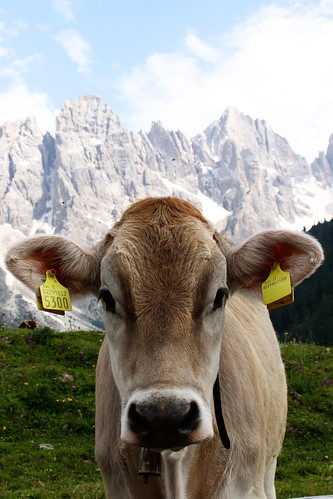 1malga cow close2