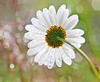 The underside of summer (Hug a Horse) Tags: water drops dew daisy sparkling boken sparles