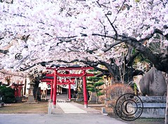 Under The Cherry Trees. (Hirosaki Japan). Over 5,000 visits to this photo.  © Glenn Waters.  2010.. (Glenn Waters ぐれんin Japan.) Tags: beautiful festival japan japanese nikon shrine aomori 桜 日本 sakura cherryblossoms hirosaki 花 matsuri japon 青森 春 祭り 弘前 ニコン d700 nikond700 ぐれん glennwaters nikkor2470mmf28gedafs photosjapan