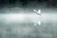 Through The Mist (Mikko Lagerstedt) Tags: morning blue light shadow red mist lake color detail green bird art nature water colors beautiful field misty fog photoshop suomi finland landscape photography early photo swan colorful mood view graphic natural image photos unique fineart stock fine perspective smooth foggy award atmosphere greens lonely finnish rise sell takingoff mikko 2010 resize latyrx nikond90 nikkor70300mmvr mikkolagerstedt lagerstedt