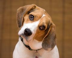 Howard(1) (Rich Terrell) Tags: beagle howard