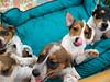Hunde - 45 (Manfred Lentz) Tags: pets puppies pubs hunde digs littledogs welpen hündchen babydogs whelps
