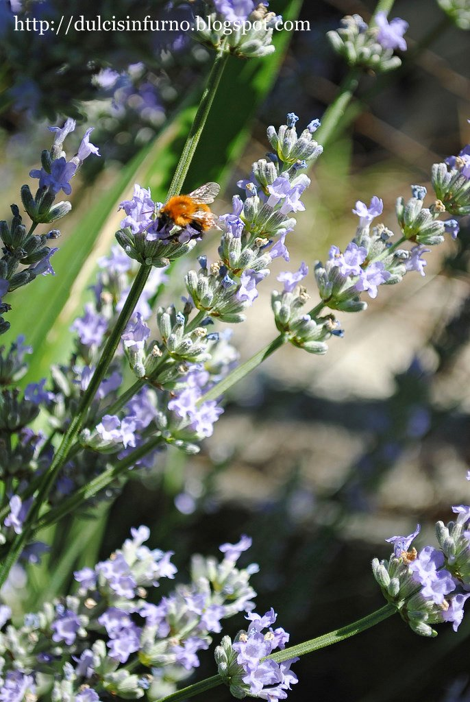 Lavanda e Ape-Lavender and Bee